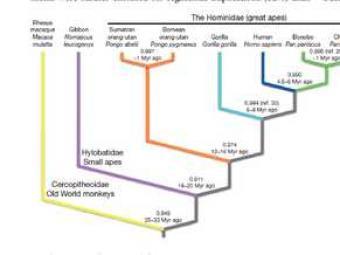 Arbre genealògic dels primats