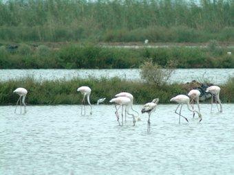 Pelicans al Parc Natural del Delta de l'Ebre, un dels espais on se situaran les estacions de seguiment. A.SEBASTIÀ