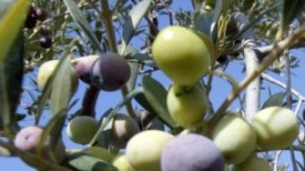 Un dels requisits és que com a mínim el 90% de les olives han de ser arbequines.  J.F