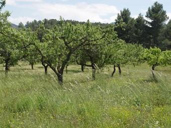 Ametlers amb conreu ecològic i natural a les comarques valencianes. / ARXIU.