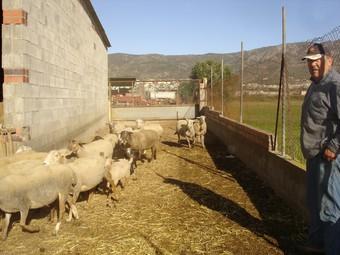 Enric Broc, amb algunes de les seves ovelles davant del portal trencat pels lladres.  T.SOLER