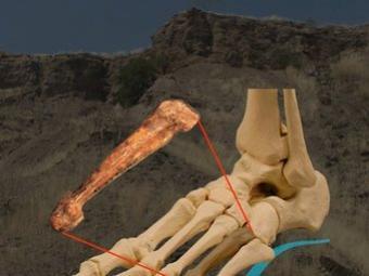 Esquema del fòssil del peu que ha servit per confirmar la forma de caminar de l'Australopithecus afarensis SCIENCE