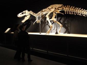 Un dels dos esquelets complets de Tarbosaures que formen part de l'exposició Tresor del desert de Gobi COSMOCAIXA