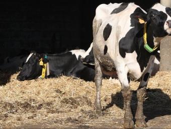 A Catalunya hi ha unes 800 granges lleteres. ARXIU