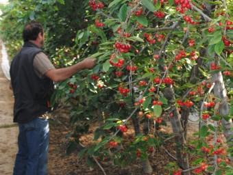 Un dels responsables dels hivernacles supervisant una filera de cirerers carregats de fruits a punt de collir.  J.TORT