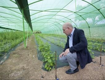 Pere Ferré, gerent de Coselva, al viver de la inca adquirida per la cooperativa, on es fa créixer el peu empeltat amb la varietat IRTA-N9.  JOSÉ CARLOS LEÓN