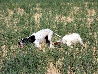 Dos gossos en el moment de localitzar ahir una guatlla en un camp d'Almacelles XAVIER LOZANO / ACN