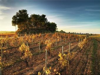 Imatge de les vinyes del celler Recaredo, un productor que treballa només amb vinya pròpia que té plantada al Penedès.  L'ECONÒMIC