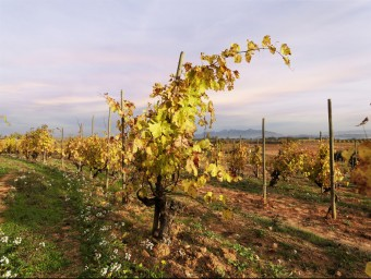 Recaredo treballa sota els criteris de l'agricultura biodinàmica.  Foto:GLOBAL IMAGE