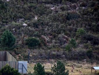 Un grup de cabres al tancat cinegètic de Mas de Barberans. JORDI MARSAL/ ACN