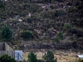 Un grup de cabres al tancat cinegètic del clot de l'Hospital. JORDI MARSAL/ ACN