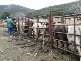 L'esquellada de la vaca de l'Albera es va fer dilluns a la finca Baussitges d'Espolla. EL PUNT AVUI