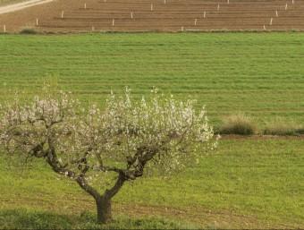 Un ametller florit al Camp de Tarragona, florida propiciada per la bonança en el clima d'aquest hivern JOSÉ CARLOS LEÓN
