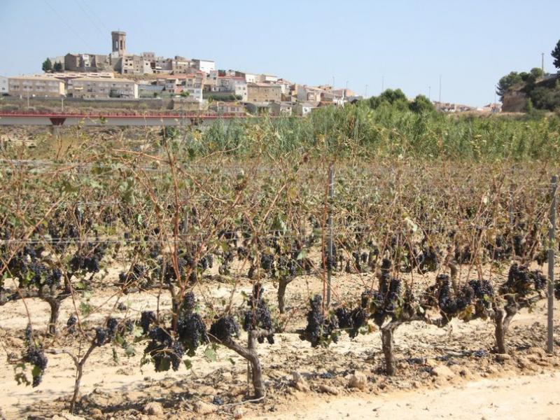 Unes vinyes de Batea afectades per la pedregada de dissabte passat. SÍLVIA JARDÍ / ACN