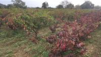 Un dels camps de vinyes que configuren part del paisatge més característic de Calonge