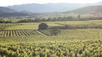 Imatge d'arxiu de vinyes per a l'elaboració de vi al Penedès