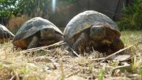 Imatge d'arxiu de tortugues a Cabrils