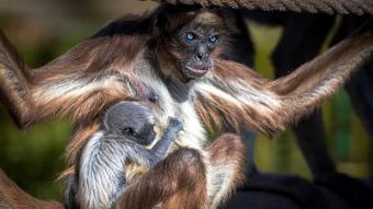 La cria de la mona aranya amb la seva mare, l'Emi, al Zoo de Barcelona